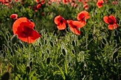 Grupp av röda vallmo i ett fält med dagg som är upplyst vid solen i morgonen royaltyfria bilder