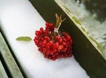 Grupp av röda viburnumbär Royaltyfri Foto