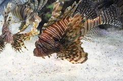 Grupp av randiga Turkeyfish som tillsammans simmar i vattnet Arkivbild