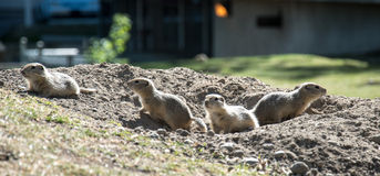Grupp av Richardson Ground Squirrels Royaltyfri Foto