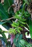Grupp av ripening bananer på tree Royaltyfri Foto