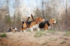 Grupp av rolig beaglehundspring Royaltyfri Foto