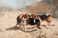 Grupp av rolig beaglehundspring Royaltyfria Foton