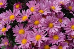 Grupp av rosa aster, slut upp Royaltyfri Bild