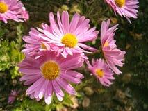 Grupp av rosa blommor Fotografering för Bildbyråer