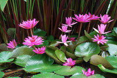 Grupp av rosa färgvattenLilly blommor Royaltyfria Bilder