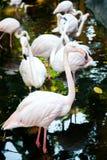 Grupp av rosa flamingo på zoo Royaltyfri Bild