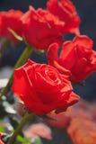Grupp av rosor Royaltyfri Bild