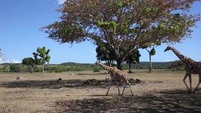 Grupp av Rothschilds giraff stock video