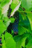 Grupp av söta druvor i trädgården Arkivfoto