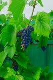 Grupp av söta druvor i trädgården Royaltyfria Foton