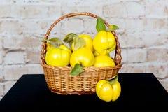 Grupp av saftiga gula kvittenfrukter quince Korg med den läckra saftiga kvitten Sen höst för tappningkvitten Royaltyfri Fotografi
