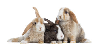 Grupp av satängMini Lop kaniner som isoleras arkivfoton