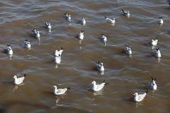 Grupp av seagullen Arkivfoton