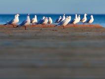 Grupp av seagulls Fotografering för Bildbyråer