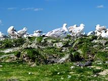Grupp av seagulls Arkivbilder