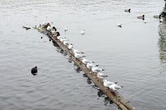 Grupp av seagulls på Vltavaen Arkivbild