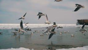 Grupp av Seagulls som dyker och slåss för mat i det vinter Is-täckte havet långsam rörelse arkivfilmer