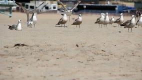 Grupp av Seagulls som sitter och står på sandstranden arkivfilmer