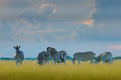 Grupp av sebror Burchells sebra, Equusquaggaburchellii, Moremi, Okavango delta, Botswana, Afrika Löst djur på gräsplanen arkivfoto