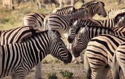 Sebror i den Serengeti nationalparken Royaltyfria Foton