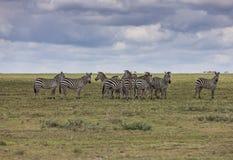 Grupp av sebror i Serengetien Royaltyfri Fotografi