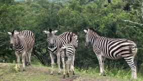 Grupp av sebror i Sydafrika stock video