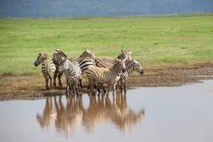 Grupp av sebror längs floden i Afrika Arkivbilder