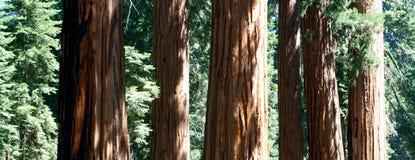 Grupp av Sequoiaredwoodträdtrees arkivbilder