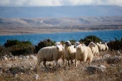 Grupp av sheeps på en äng Arkivfoto