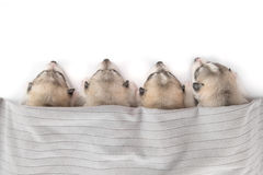 Grupp av siberian skrovligt sova för valpar fotografering för bildbyråer