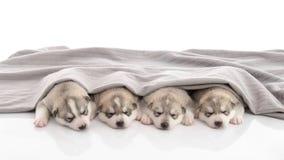 Grupp av siberian skrovligt sova för valpar royaltyfria bilder