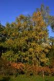 Grupp av silverbjörkträd Betula Pendula under höstsäsong med gula sidor, några buskar med apelsinen till den röda lövverket i fro royaltyfri fotografi