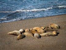 Grupp av sjölejon på stranden Arkivbilder