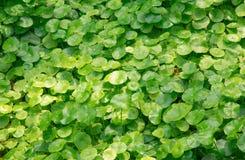 Grupp av skölden Pennywort Royaltyfri Foto