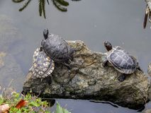 Grupp av sköldpaddor i ett damm arkivfoto