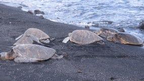 Grupp av sköldpaddor i Hawaii Arkivbild
