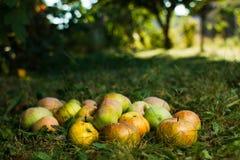 Äpplen i fruktträdgården Arkivbild