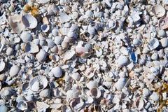 grupp av skal för vitt hav Royaltyfri Fotografi