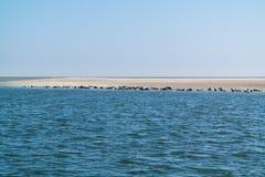 Grupp av skyddsremsor som vilar på sandbanken i Waddensea, Nederländerna Arkivfoton