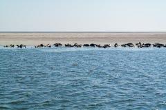 Grupp av skyddsremsor som vilar på sandbanken i Waddensea, Nederländerna Royaltyfria Bilder