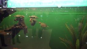 Grupp av små glidare för ett damm som slåss för mat och bad i akvarium stock video