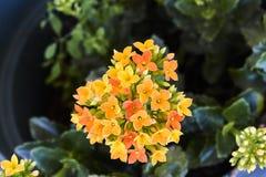 Grupp av små gula och orange blommor fotografering för bildbyråer