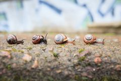 Grupp av små sniglar som framåtriktat går Royaltyfria Foton