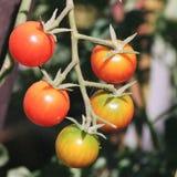 Grupp av små tomater royaltyfria foton