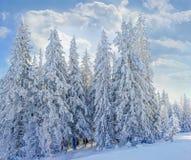 Grupp av snö-täckte granar i Carpathiansna Arkivfoton