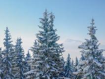 Grupp av snö-täckte granar i Carpathiansna Arkivbilder