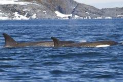Grupp av späckhuggare som simmar längs en av Antarktis Arkivbilder