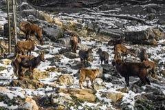 Grupp av stenbocken i vintersäsong Royaltyfria Bilder