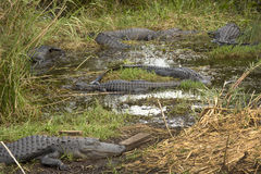 Grupp av stora alligatorer i nationalpark för Everglades för Florida ` s Royaltyfri Bild